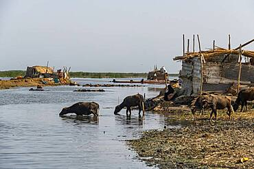 Reed house of Marsh Arabs, Mesopotamian Marshes, The Ahwar of Southern Iraq, UNESCO World Heritage Site, Iraq, Middle East