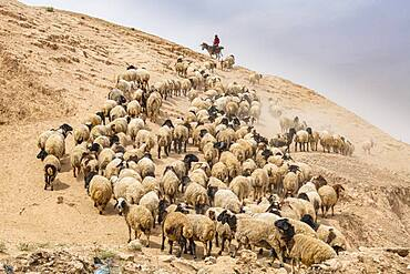 Shepherd with his sheep, Mosul, Iraq, Middle East