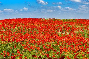 Poppy flower field, Zelena Hora, Czech Republic