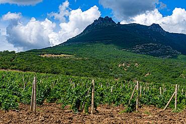 Vineyards near Sudak, Crimea, Russia