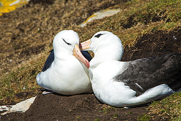 Colony of black-browed albatross (Thalassarche melanophris), Saunders Island, Falklands, South America
