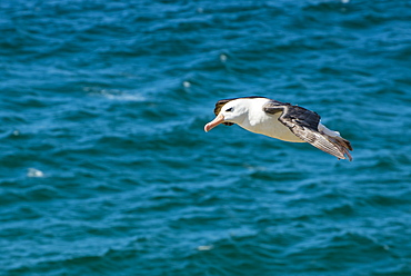 Black-browed albatross (Thalassarche melanophris), Saunders Island, Falklands, South America