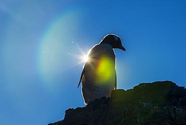 Gentoo penguin (Pygoscelis papua) in backlight, Brown Bluff, Antarctica, Polar Regions