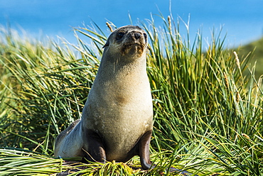 Young Antarctic fur seal (Arctocephalus gazella), Prion Island, South Georgia, Antarctica, Polar Regions