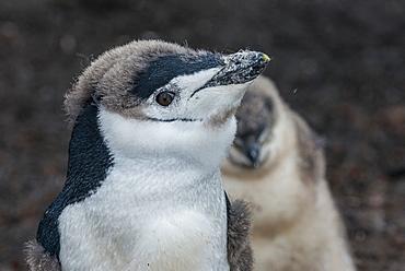 Chinstrap penguin chick (Pygoscelis antarctica) on a black volcanic beach, Saunders Island, South Sandwich Islands, Antarctica, Polar Regions