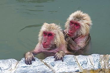 Hot-tubbing monkeys, Hakodate, Hokkaido, Japan, Asia