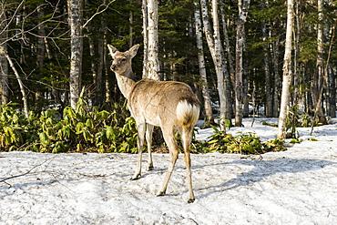 Japanese spotted deer (Cervus nippon yesoensis), Daisetsuzan National Park, UNESCO World Heritage Site, Hokkaido, Japan, Asia