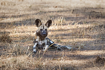 African Wild Dog (Painted Dog) (African Hunting Dog) (Lycaon Pictus), Zambia, Africa