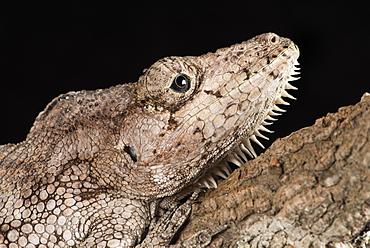 Cuban False Chameleon (Chamaeleolis), captive, Cuba, West Indies, Central America