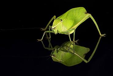 Katydid (Tettigoniidae), captive, Costa Rica, Central America