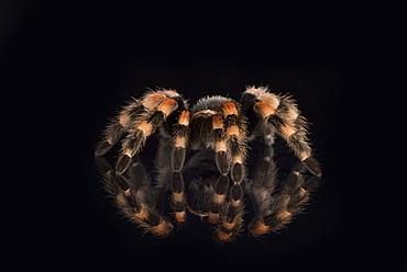 Mexican Red Knee Tarantula (Brachypelma Smithi), captive, Mexico, North America