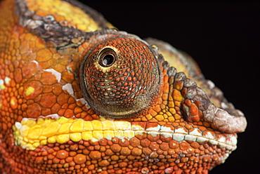 Panther Chameleon (Furcifer Pardalis), captive, Madagascar, Africa