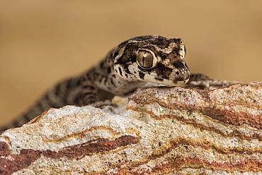 Viper Gecko (Teratolepis fasciata), captive, Pakistan, Asia