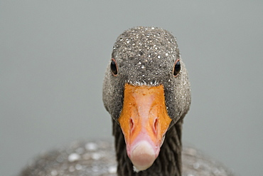 Greylag goose (Anser anser), United Kingdom, Europe