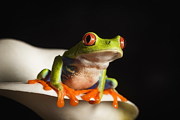 Red eyed tree frog (Agalychnis Callidryas), captive, United Kingdom, Europe