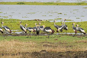 Grey Crowned Crane (Balearica regulorum), Uganda, Africa