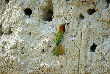 Red throated Bee-eater (Merops bulocki), Uganda, Africa