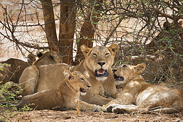 Lion (Panthera leo), Uganda, Africa