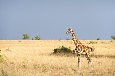 Giraffe (Giraffa camelopardis), Uganda, Africa