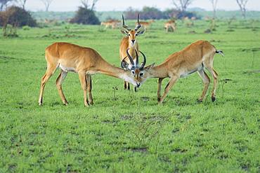 Ugandan Kob (Kobus Kob), Uganda, Africa