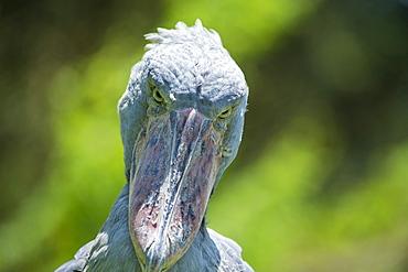 Shoebill (Balaeniceps rex), Uganda, Africa