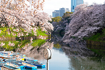 Cherry blossoms at Chidorigafuchi moat