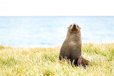 Fur seal (Arctocephalus forsteri), Moeraki, South Island, New Zealand, Pacific