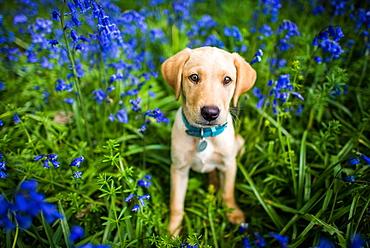 Labrador in bluebells, Oxfordshire, England, United Kingdom, Europe