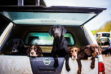 Gun dogs in the back of 4x4 on a shoot in Wiltshire, England, United Kingdom, Europe