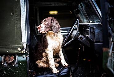 Springer spaniel in Land Rover, Wiltshire, England, United Kingdom, Europe