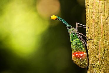 Orange-tip lantern fly (Pyrops intricata), Indonesia, Southeast Asia