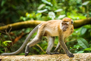 Long tailed Macaque (Macaca fascicularis), Indonesia, Southeast Asia