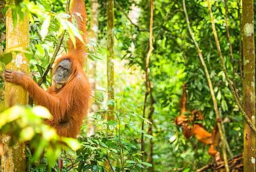 Female Orangutan Sumatra with babies (Pongo abelii), Indonesia, Southeast Asia