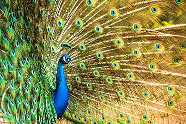 Male peacock displaying, United Kingdom, Europe