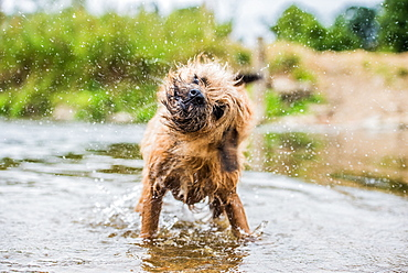 A briard dog, wading in water, England, United Kingdom, Europe