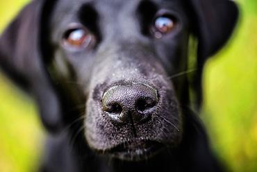 Labrador nose, United Kingdom, Europe