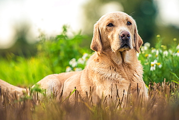 Gun dog on game-shooting drive, Norfolk, England, United Kingdom, Europe