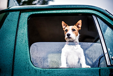Dog looking out of window, game-shooting, England, United Kingdom, Europe