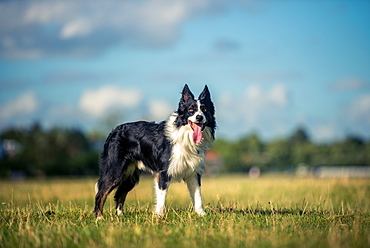 Border collie in a field, Oxfordshire, England, United Kingdom, Europe