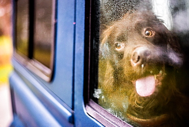 Spaniel in car with nose against window, United Kingdom, Europe