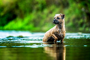 Border Terrier standing in a river, United Kingdom, Europe