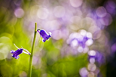 Bluebell (Hyacinthoides non-scripta), Oxfordshire, England, United Kingdom, Europe