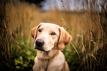 Portrait of a young Golden Labrador sitting in a field, United Kingdom, Europe
