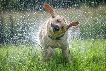 Golden Labrador shaking off water, United Kingdom, Europe