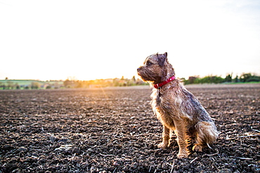Border Terrier with red collar sitting in a field at sunset, United Kingdom, Europe