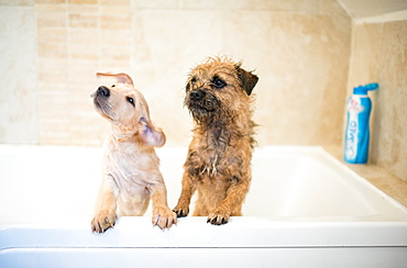 Golden Labrador puppy in the bath with a Border Terrier, United Kingdom, Europe