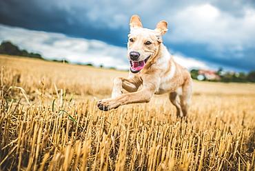 Golden Labrador running through a field of wheat, United Kingdom, Europe