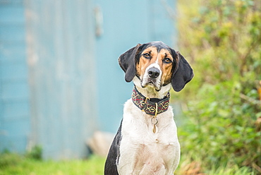 Portrait of a Beagle sitting looking at the camera, United Kingdom, Europe
