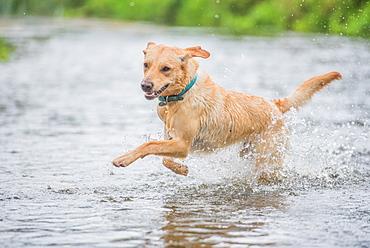 Young Labrador running through a river splashing, United Kingdom, Europe