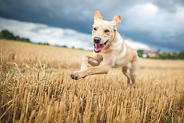 Young Labrador running through a field of wheat, United Kingdom, Europe